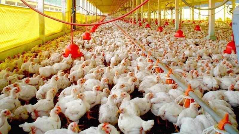 Licenciamento ambiental avicultura